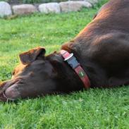 Labrador retriever sofus - R.I.P 15/10-16
