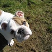 Engelsk bulldog Link