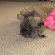 Cairn terrier Fie <3 *VIP*