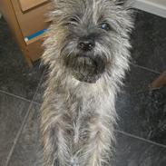 Cairn terrier Maddie