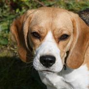 Beagle **Zila**