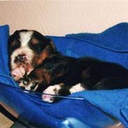 Berner sennenhund Ofelia (Bor hos eksmanden)
