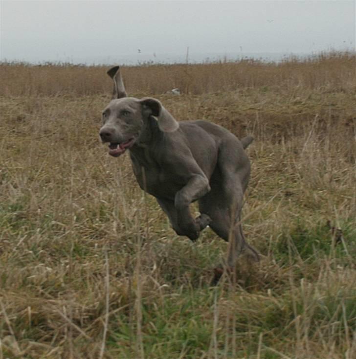 Weimaraner HOT SHOOT`S JUBII HD A - himmelhund - Billeder