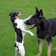 Schæferhund Ezra *RIP*