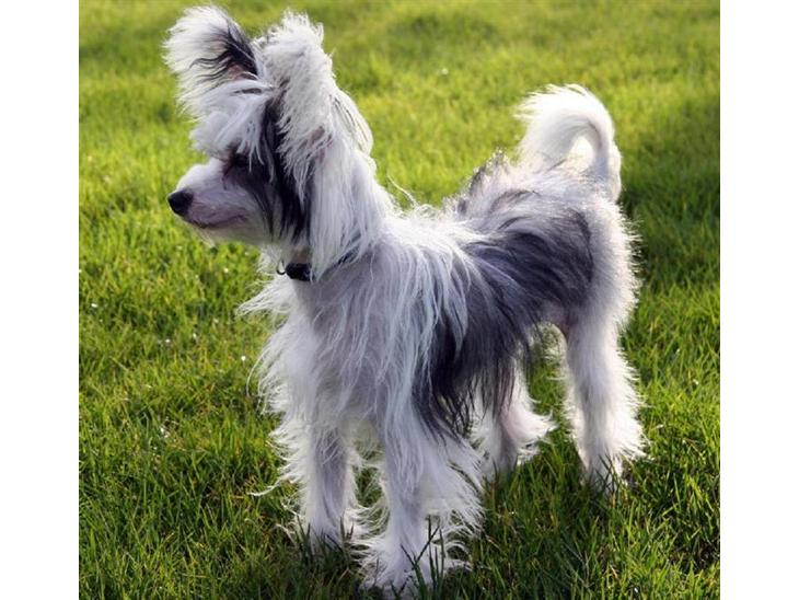 Chinese Crested Powder Puff Haircuts Dog Breeds Picture