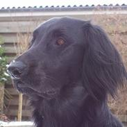 Flat coated retriever Baloo