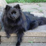 Pomeranian Fie *4-7-2004*
