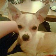 Chihuahua Cirkeline R.I.P.