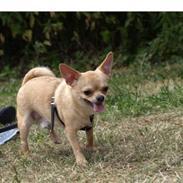 Chihuahua Nuggi