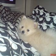 Pomeranian  pippo <3