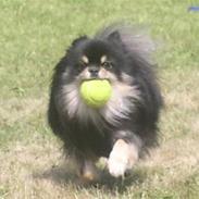 Pomeranian Gizmo
