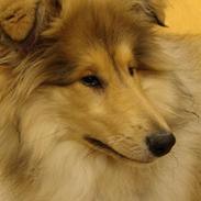 Collie langhåret Belle