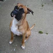 Boxer buffi