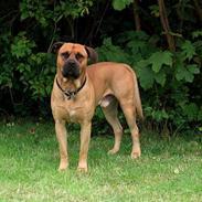 Blanding af racer Mastiff/ Amerikansk Bulldog - Rollo