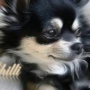 Chihuahua Chilli