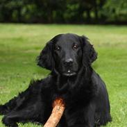 Flat coated retriever Nikka