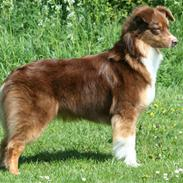 Australian shepherd Lucca