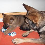 Schæferhund Jabina Isis(himmelhund)