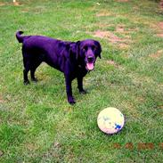Labrador retriever Molly<3