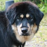 Tibetansk mastiff Tesla