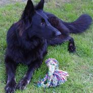Schæferhund Leika