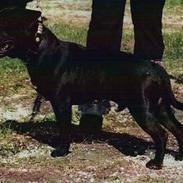 """Staffordshire bull terrier  """"Engelsk""""  Kenzo (RIP)"""