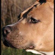 Amerikansk staffordshire terrier Malou