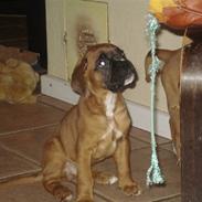 Boxer Otis von Ellinghaus