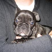 Fransk bulldog Berta