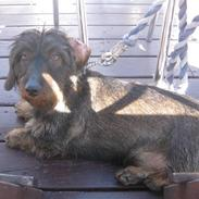 Gravhund Atempo's Yana (Jarna)