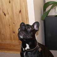 Fransk bulldog Medina