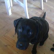 Labrador retriever Molly