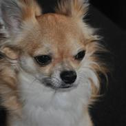 Chihuahua .•:*¨¨*:•.Mikkel.•:*¨¨*:•