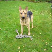 Schæferhund bondo