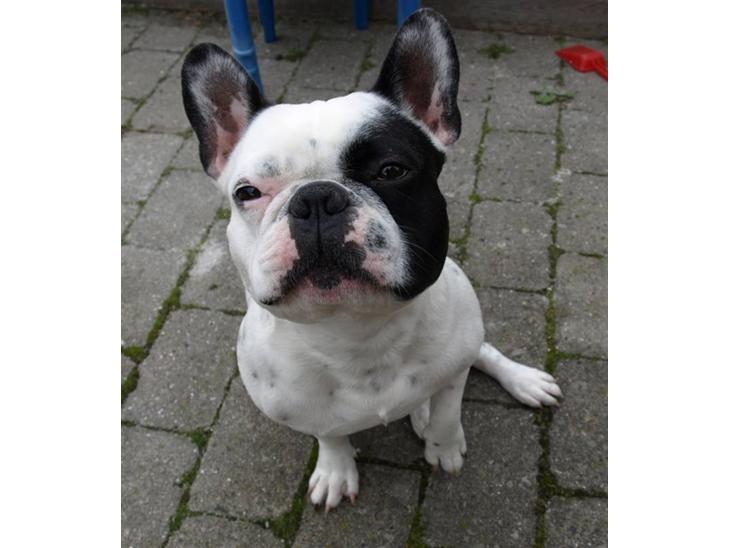 fransk bulldog hvid