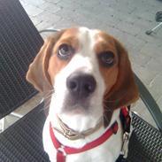 Beagle Zenta