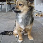 Chihuahua Gucci