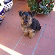 Yorkshire terrier Fifi