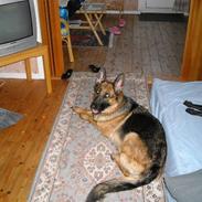 Schæferhund Zita (chefen)