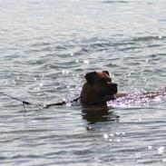 Amerikansk staffordshire terrier Zoey <3