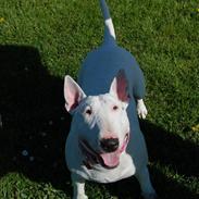 Bullterrier Diva *Himmelhund*