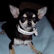 Chihuahua mingus