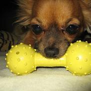 Chihuahua Daisy