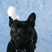Fransk bulldog GIGOLO