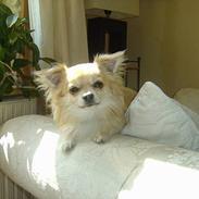 Chihuahua Frede