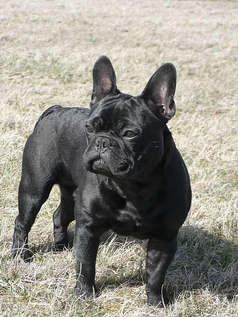 Fransk bulldog GIGOLO - Iiiingen damer i miiiles omkreds?!?!?!? billede 6