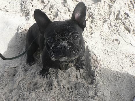 Fransk bulldog GIGOLO - Jeg er en SAND bulldog! billede 8