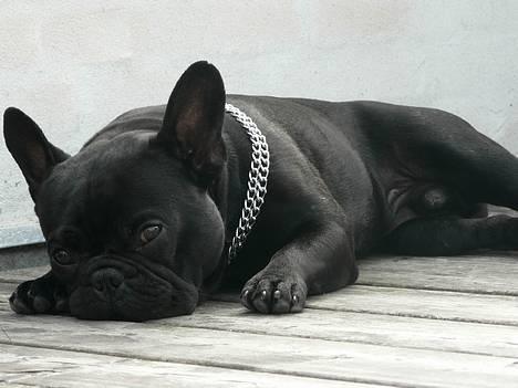 Fransk bulldog GIGOLO - Tid til siesta! billede 10