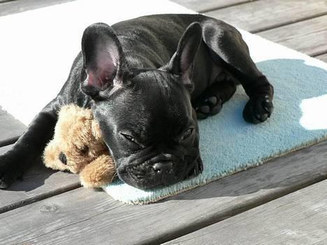 Fransk bulldog GIGOLO - Kvalitetstid med bette´teddy og solen. billede 13