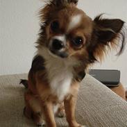 Chihuahua <3 Darwin <3